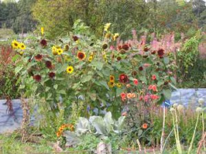The Award Winning Penny's sunflower plot! (just shows what that horse manure can muster, eh?)